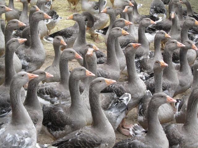 breeding-geese-1062224_1920 - コピー.jpg