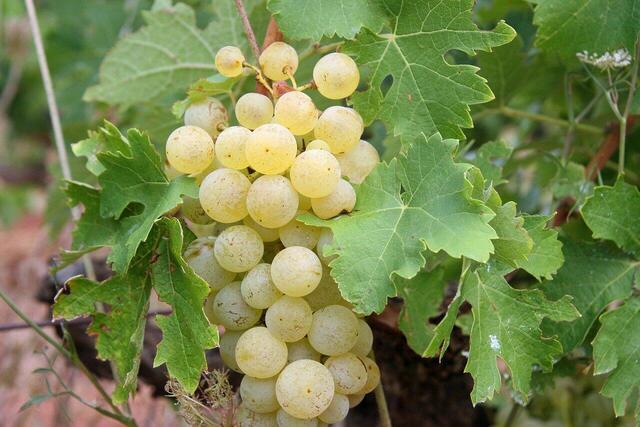 grapes-522009_1280.jpg